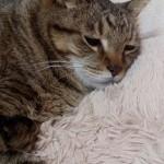 猫の糖尿病の原因とインスリンが効き難い時の対処。猫はストレスで顕著に血糖値が上がる。